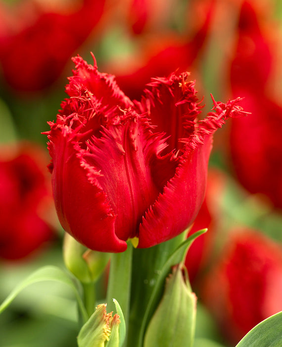 Red Fringed Tulip Philly Belle