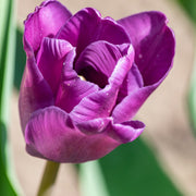 Darwin Hybrid Tulip Purple Pride - Fall Planted Tulip Bulbs