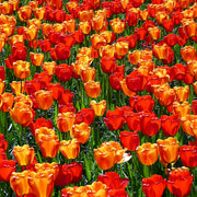 Red and orange Tulip Bulb Collection called Sunny Days