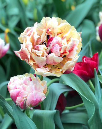 Tulip Verona Sunrise - Pink, Champagne and Peach