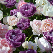 Tulip Wedding Gift Collection, Purple, Pink and White Mix of Double Tulips