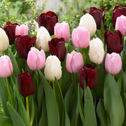 Tulip Pink, White, Black - Chocolate Candy Collection - DutchGrown