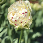 Exclusive and popular Tulip Bulbs from Holland - Tulip Danceline, white, pink, red stripes
