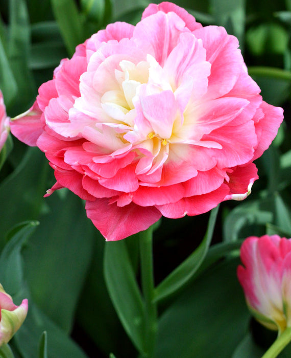Exclusive Tulip Bulbs - Fall Planting - Pink and White - Large Peony Like Flowers