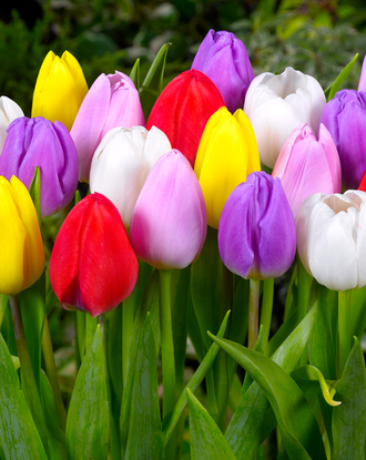 Tulip Lollypop Collection - Red, Yellow, White, Pink and Purple Tulips