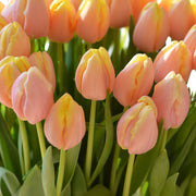 Tulip Mango Charm - Top Quality Flower Bulbs, Wholesale Pricing