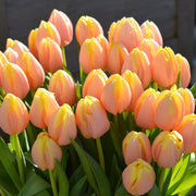 Tulip Mango Charm - Fall Planted Flower Bulbs, Cut Flower and Gardening