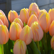 Tulip Mango Charm - Tulip Bulbs from our Family Farm in Holland