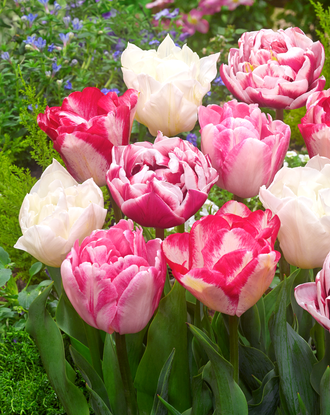 Tulip Marshmallow Collection - Pink and White - DutchGrown
