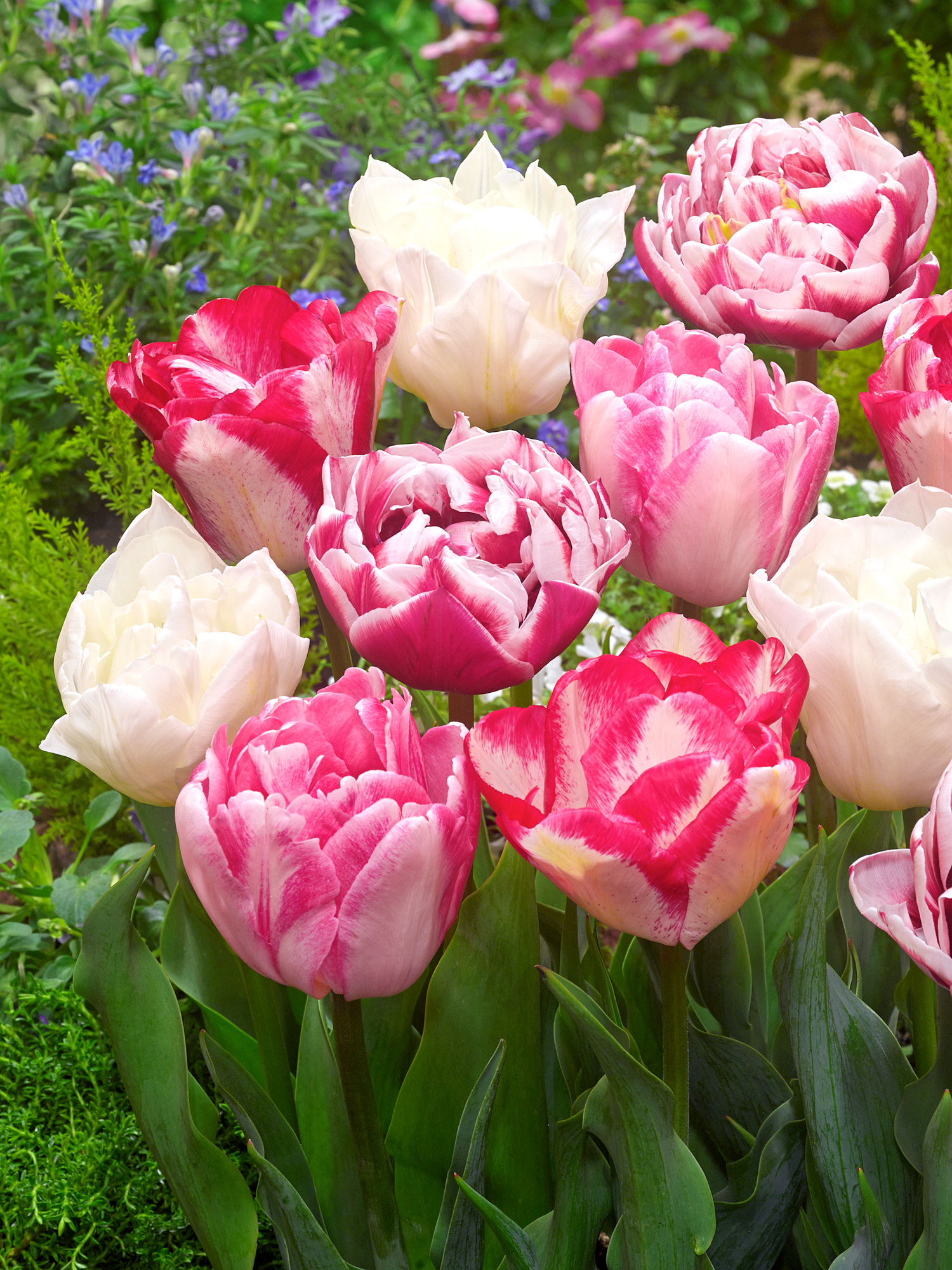 These Are Our Tulips Today >> Tulip Marshmallow Collection Dutchgrown