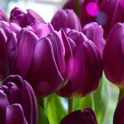 Tulip Negrita - Purple Blooms