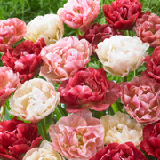 Tulip PepTalk® | DutchGrown™ | Double Unique Peony Tulip