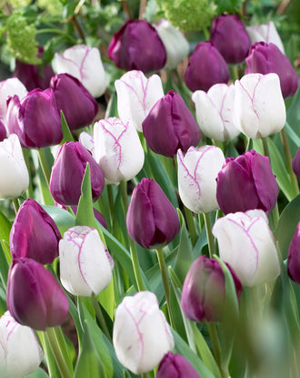 Tulip Purple Passion Collection