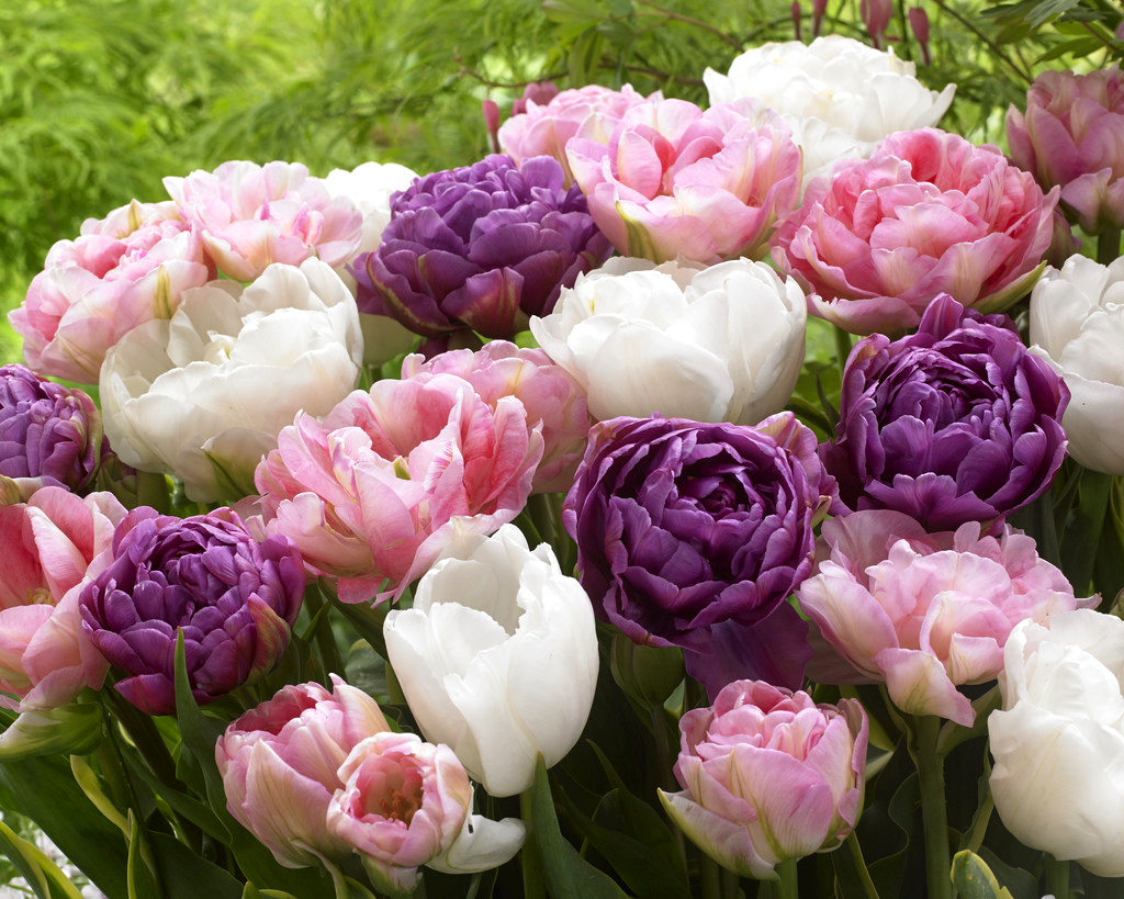 Tulip Wedding Gift Collection Dutchgrown