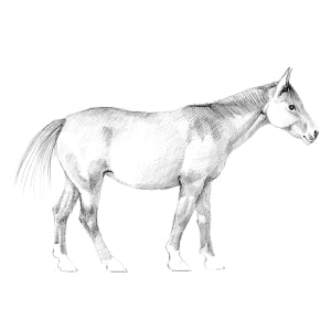 How to Draw a Horse - Step 4