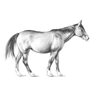 How to Draw a Horse - Step 5