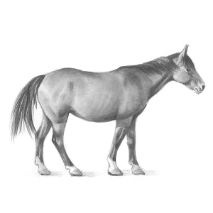 How to Draw a Horse - Step 6
