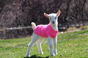 baby goat with sweater