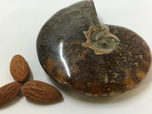 Ammonite Sutured - Polished