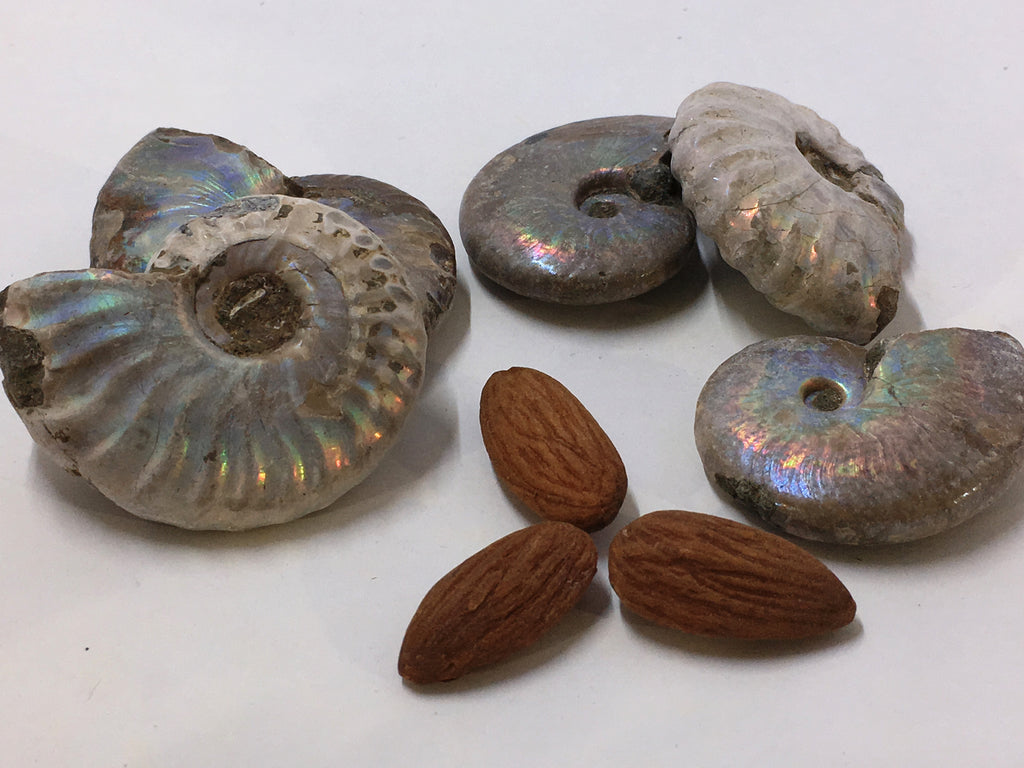 Ammonite - Opalized (Rainbow) Polished