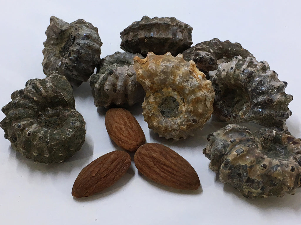 Ammonite - Partially Polished Spines