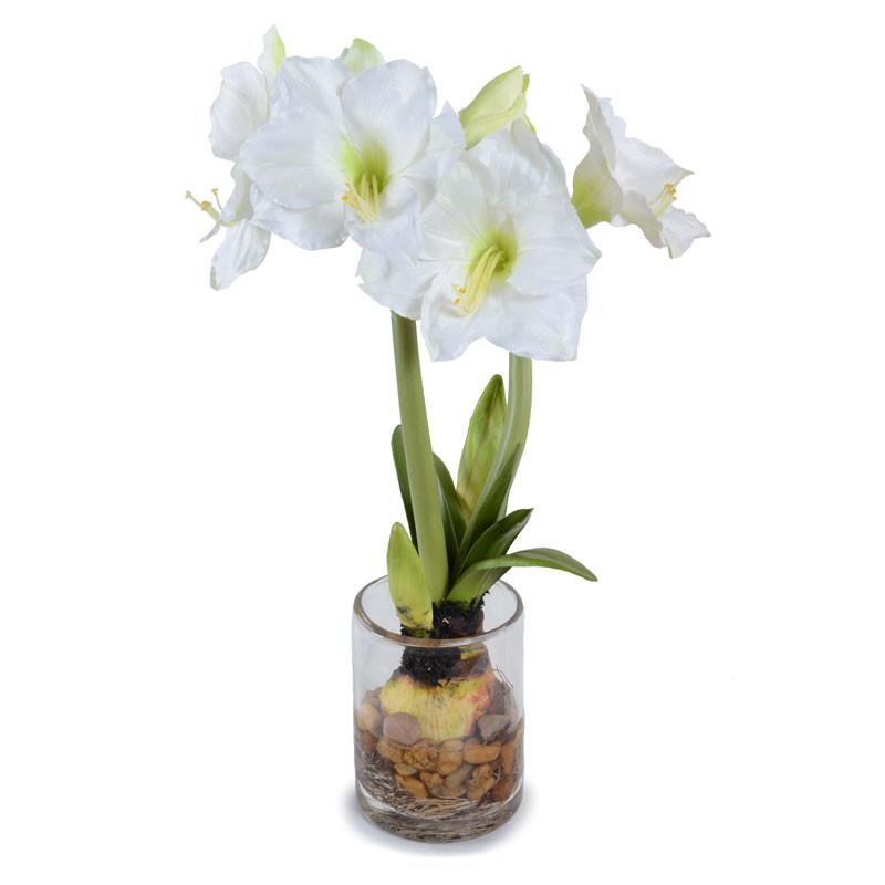 Amaryllis bulb plant with roots -white