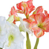 Amaryllis bulb plant with roots -white - Artifice Store