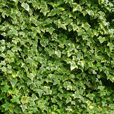 Nature Photo Backdrop - Ivy Wall Backdrops Loran Hygema