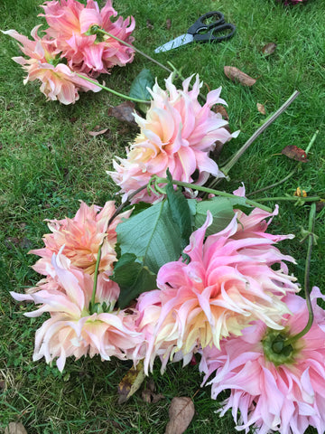 dahlia,penhill watermelon, banquet workshop, growing dahlias