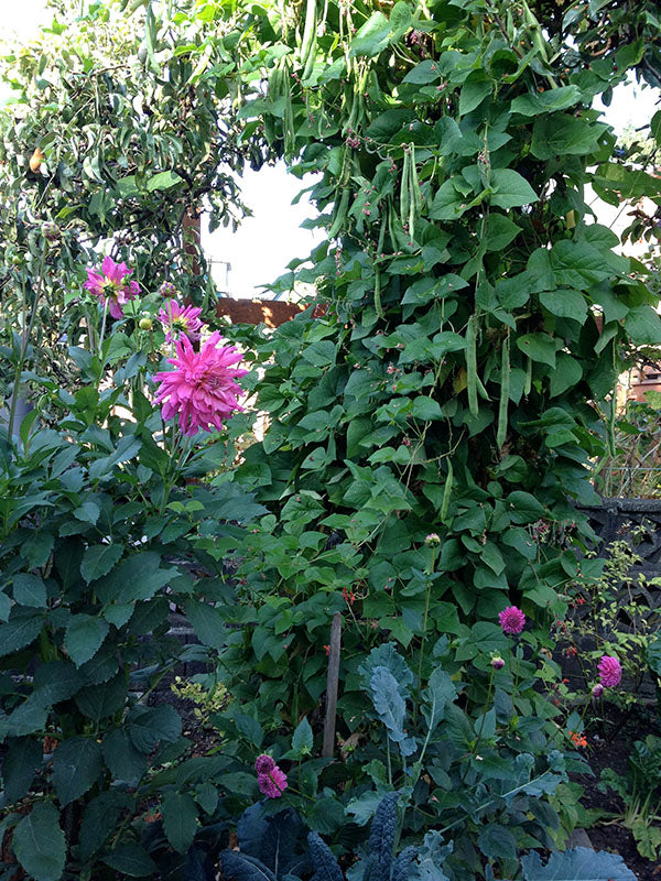 broccoli and dahlias and runner beans
