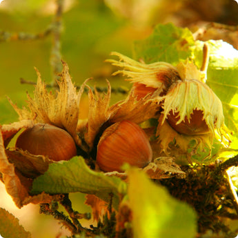 Nut Tree Seeds