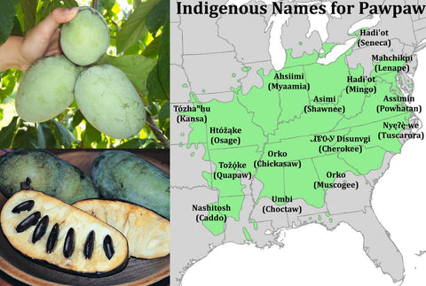 North American Native Trees: The Pawpaw Tree by Margaret Hoegg
