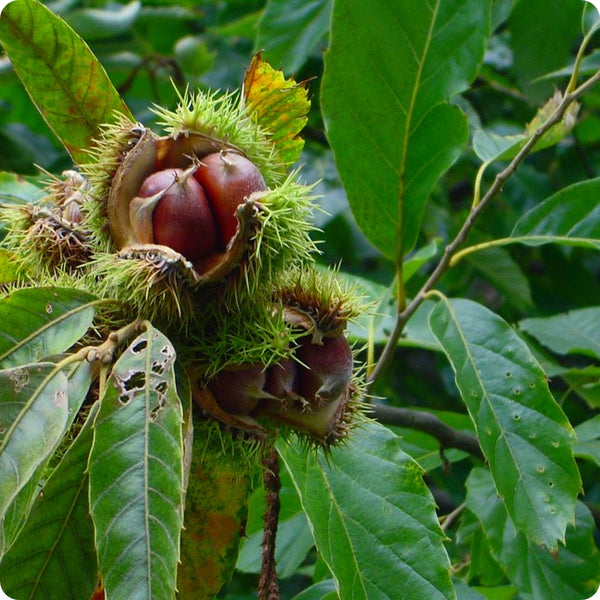 Chestnut Tree Seeds - American Chestnut