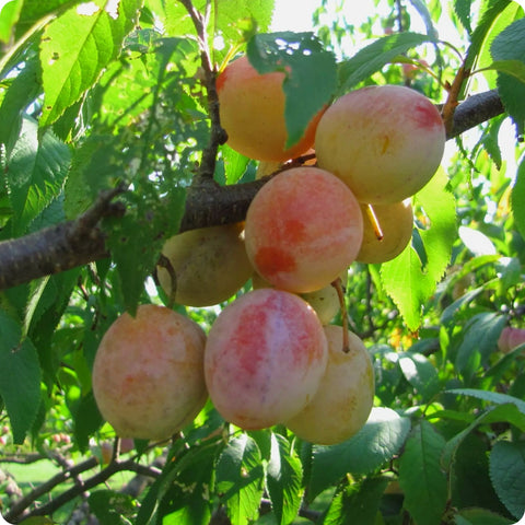 American Plum Tree Seeds