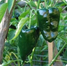 Ancho Gigantea - Hot Pepper Seeds