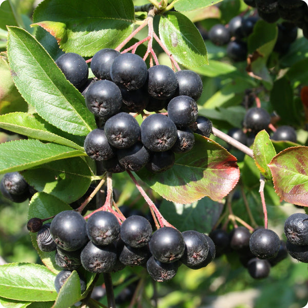 Aronia Plants - Viking