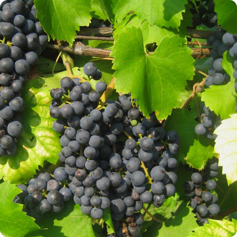 Grape Vines, Wine - Baco Noir