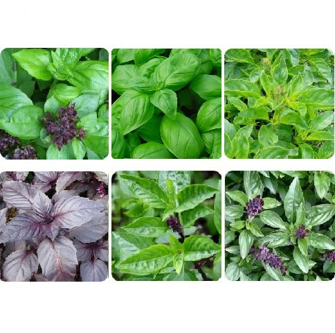 Basil Lovers Wanted
