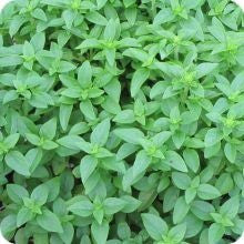 Basil - Spicy Bush
