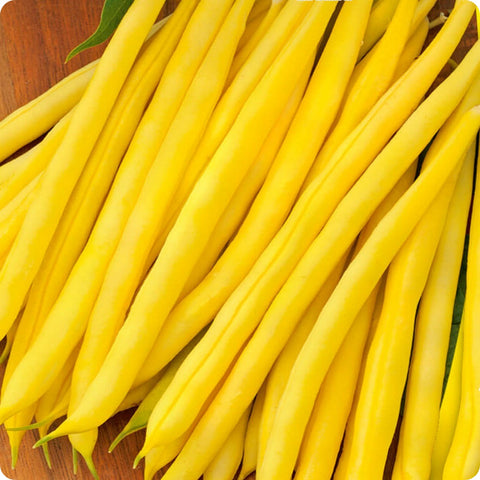 Bush Bean Seeds - Concador Yellow Filet