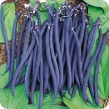 Bush Bean - Velour