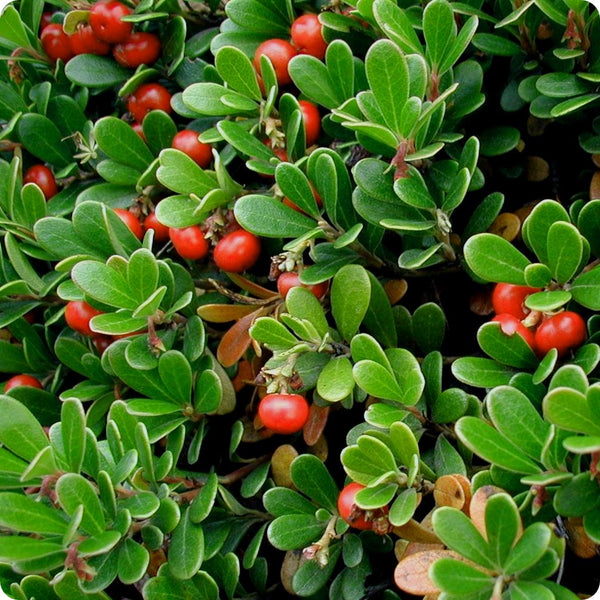 Bearberry Seeds - Uva Ursi