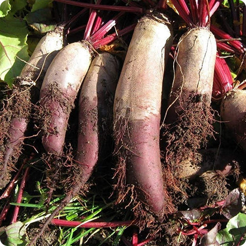 Long Red Mangel Beet Seeds