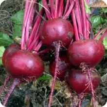Early Wonder Beet