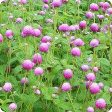 Amaranth Seeds - Bicolour Rose Globe