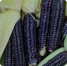 Corn Seeds - Black Aztec