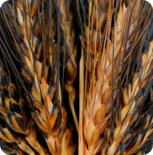 Black Eagle Wheat Seeds