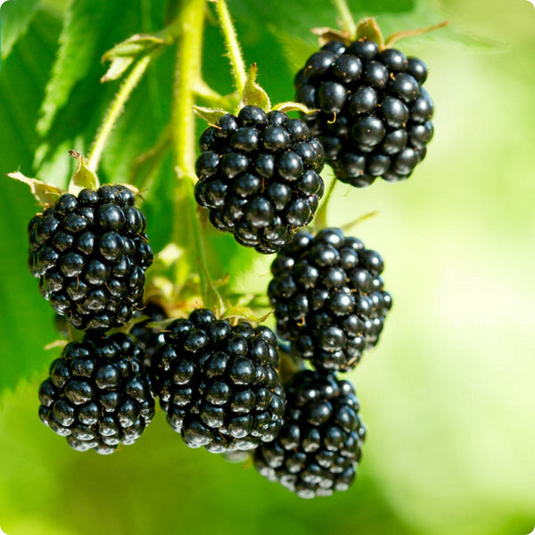 Blackberry Plants - Hardy Black