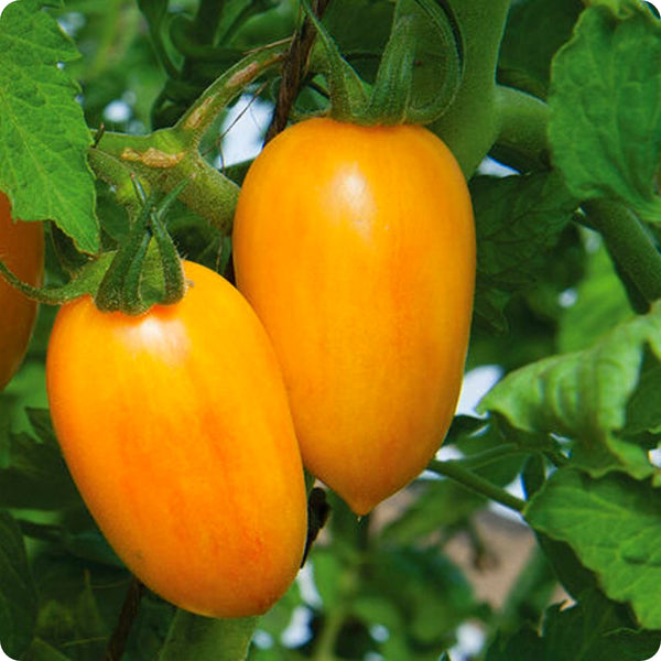 Blush - Cherry Tomato Seeds