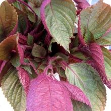 Shiso Seeds, Britton